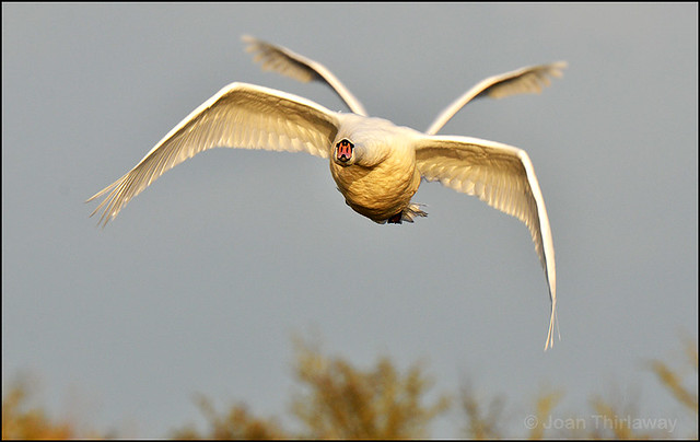 Mute-Swan_0241