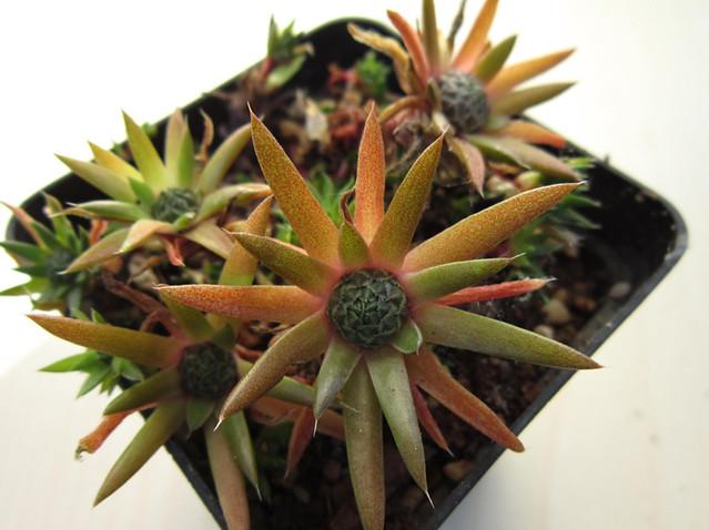 Orostachys japonicus