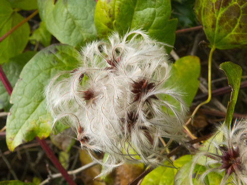 Old mans beard with seeds