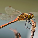 Autumn Darter On Twig