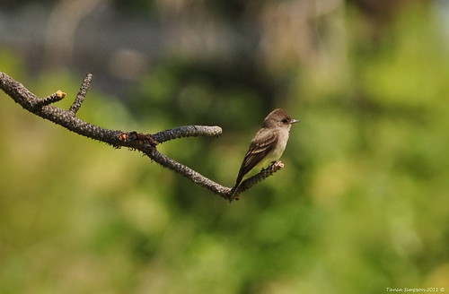Willow Flycatcher (Empidonax traillii) | by Photography Through Tania's Eyes