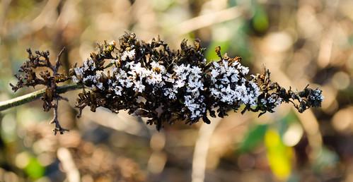 Iced-up buddleia seed-head