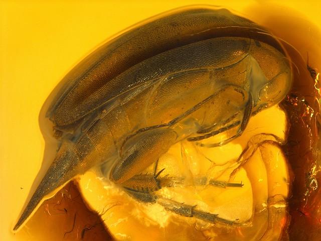Baltic amber (40-50 MYO) - Tumbling Flower Beetle (Mordellidae) - 4 mm
