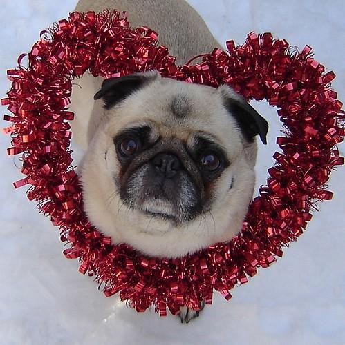 Valentine Pug | by DaPuglet