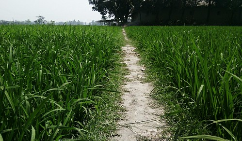green field mobile way paddy paddyfield সবুজ ধানক্ষেত flickrandroidapp:filter=none