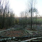 Coppicing nearing completion