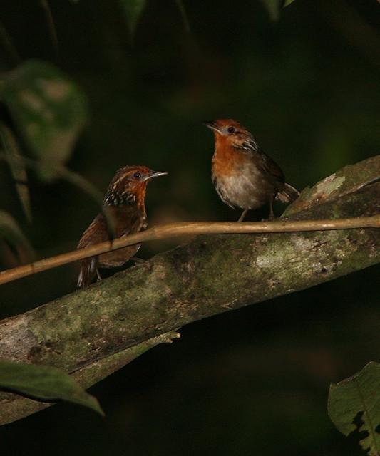 Musician Wren (Cyphorhinus arada)