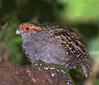 URU (  Odontophorus capueira) by Dario Sanches