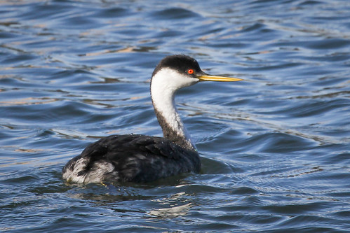 Western Grebe (Aechmophorus occidentalis) | by Photo Patty