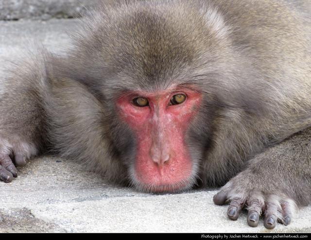 Macaque, Itsukushima, Japan