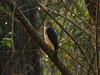 Frances´s Goshawk (Accipiter francesiae) Echsenhabicht by Werner Witte
