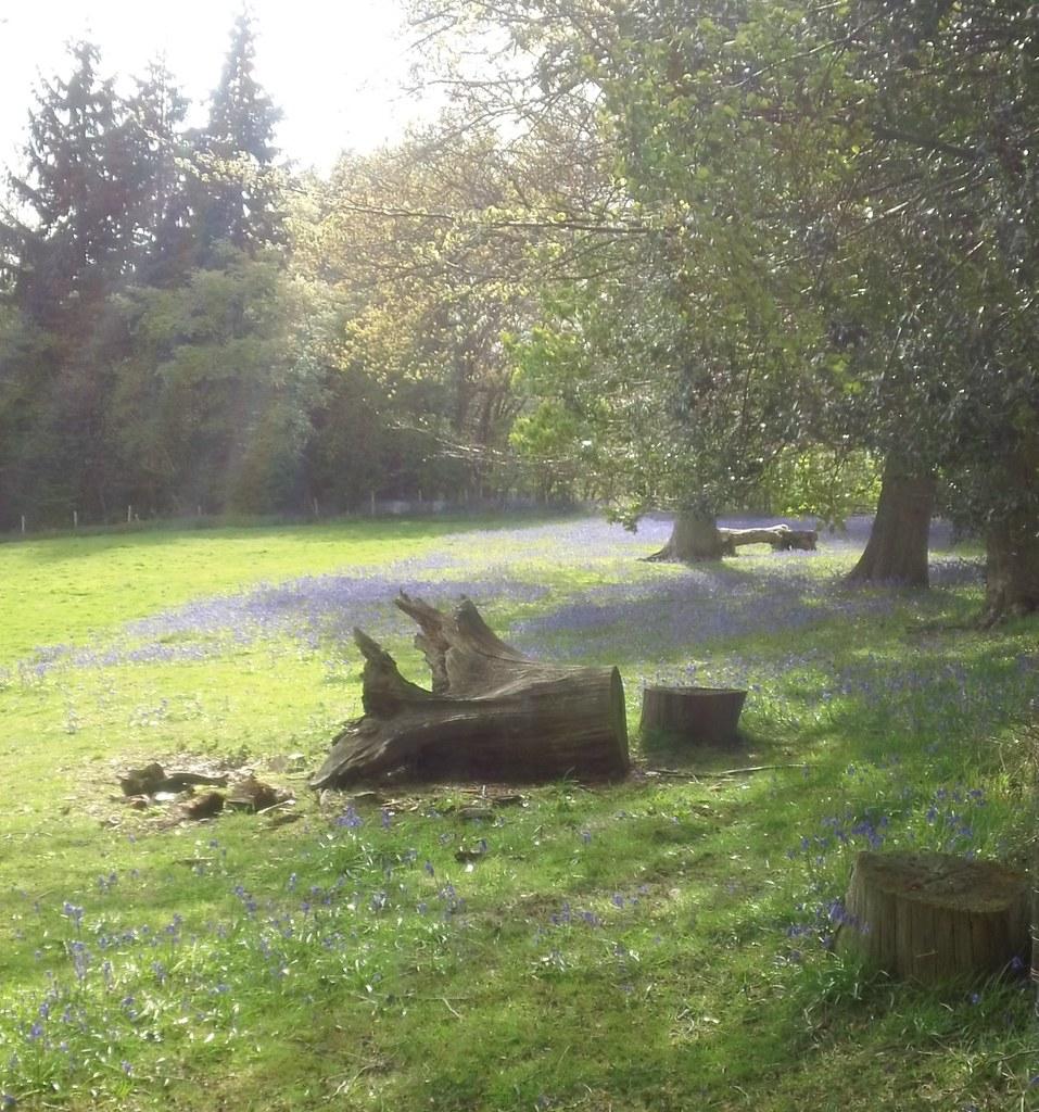 Log and bluebells Near Redlands Wood