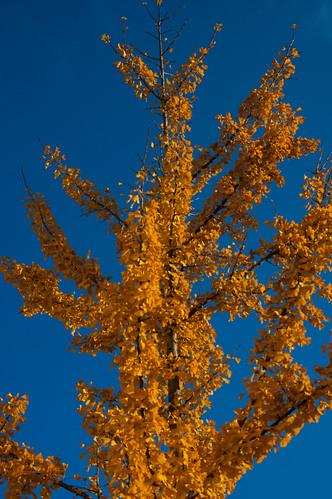 Gingko in autumn