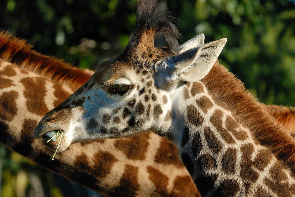 Young Masai Giraffe at San Diego Zoo-19 1-15-09