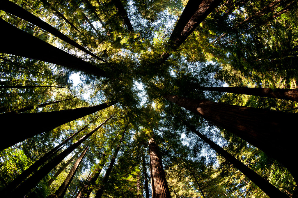 Activists Stand Guard Over California Redwoods Amid Logging Threat