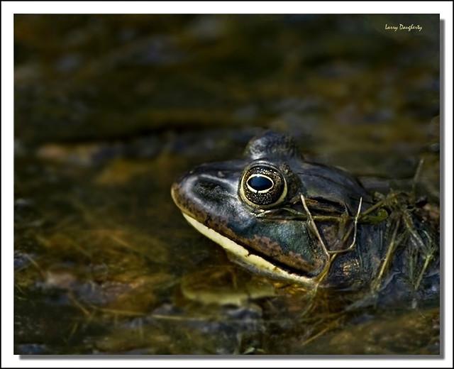 I am....Bullfrog!