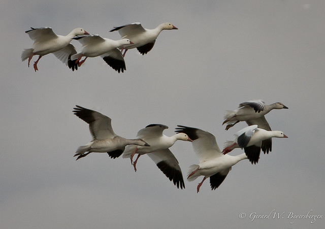 More White Geese