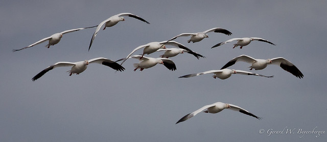 Small Flock of White Geese