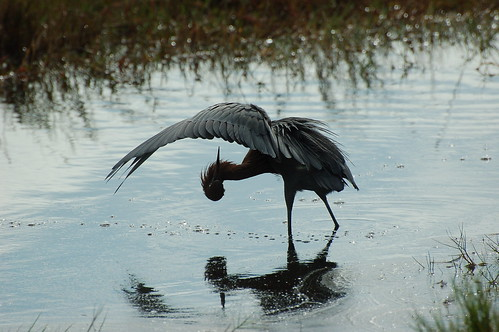 Reddish Egret | by Ketzirah & Art