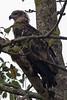 Kaziranga Birds-13 - Haliaeetus leucoryphus by Vijay Anand Ismavel