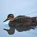 Reflected duck