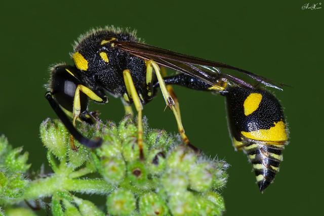 Vespa, Potter wasp  ( Eumenes coarctatus, family Vespidae) - ID? - em Liberdade [WildLife]