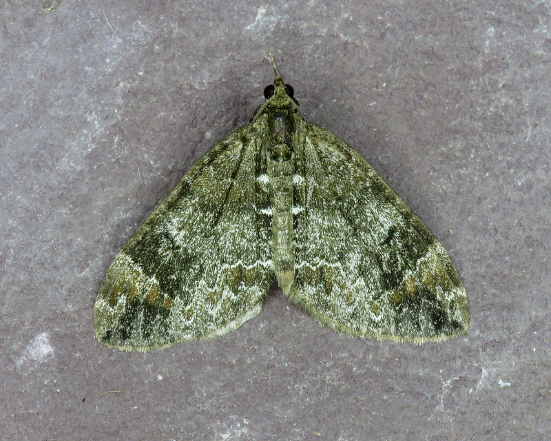 70.097 Common Marbled Carpet - Dysstroma truncata