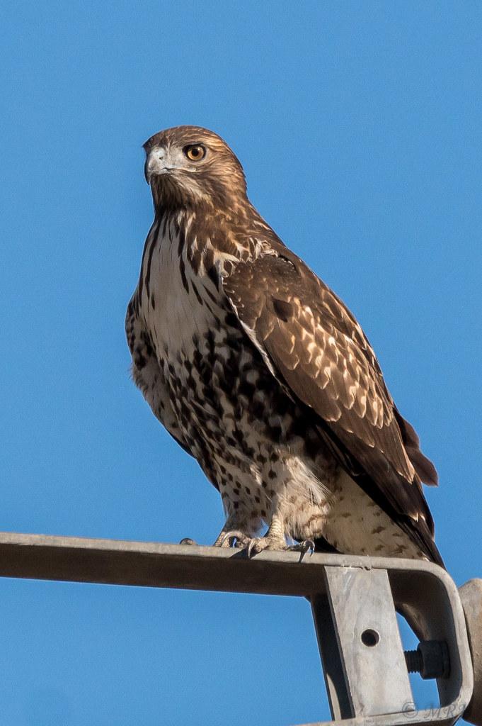 Ip Chicken Hawk