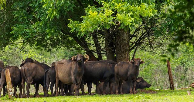 Buffaloes Argentina