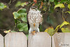 Sharp-shinned Hawk by Chasing Photons