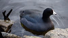 American Coot with Ruby Red Eyes by Mark Klotz