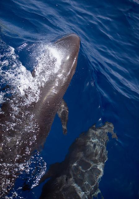 False Killer Whale, Pseudorca crassidens, Tiran Island, Red Sea