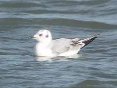 Bonaparte's Gull, Dunkirk Harbor, NY