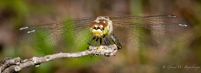 Meadow-hawk Dragonfly