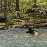 Moose in Lake Isabel