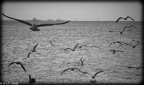 bw nature birds florida seagull flight ftpierce