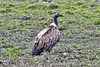 Kaziranga Birds-23 - Gyps tenuirostris by Vijay Anand Ismavel