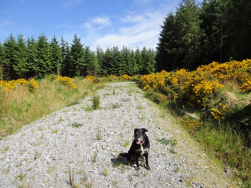 gorse poppy dog path track forestry conifer meelin cork ireland irish landscape scenery flower trees bluesky summer canonixus170 2016onephotoeachday