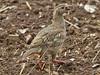 Red-legged Partridge, Choseley (Norfolk), 25-Aug-11 by Dave Appleton