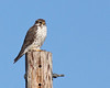 Prairie Falcon by Keith Carlson