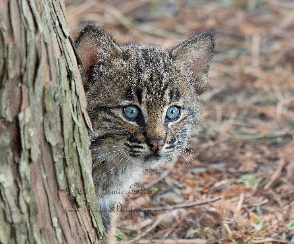 Bobcat kitten hide and seek