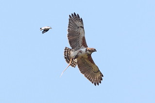 Madagascar Buzzard With Snake | by Calidris!
