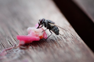Little Fly Eating Lollies | by existangst