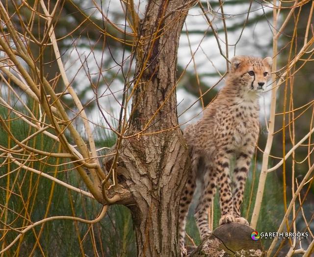 Cheetah Cub 07/01/2012