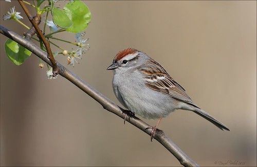 Chipping Sparrow | by Daniel Behm Photography
