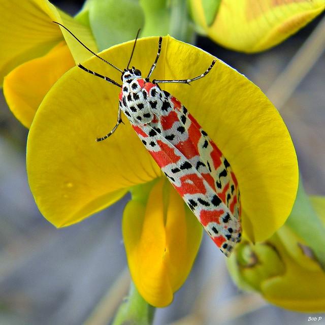 Bella Moth on Crotalaria
