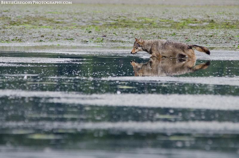 Coastal grey wolf wading
