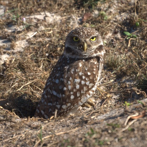 Burrowing Owl | by Mike's Birds