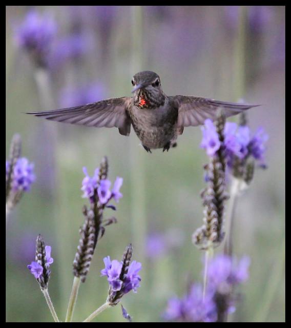 Hummingbird Scottsdale Arizona – 6228