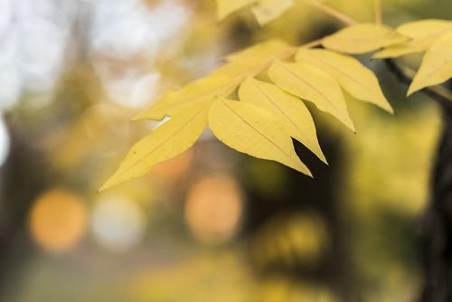 autumn plant colour tree leaves yellow closeup season dof bokeh tripod newengland australia depthoffield foliage nsw newsouthwales armidale justleaves macromondays nikond750 tamron90mmmacrovcusm